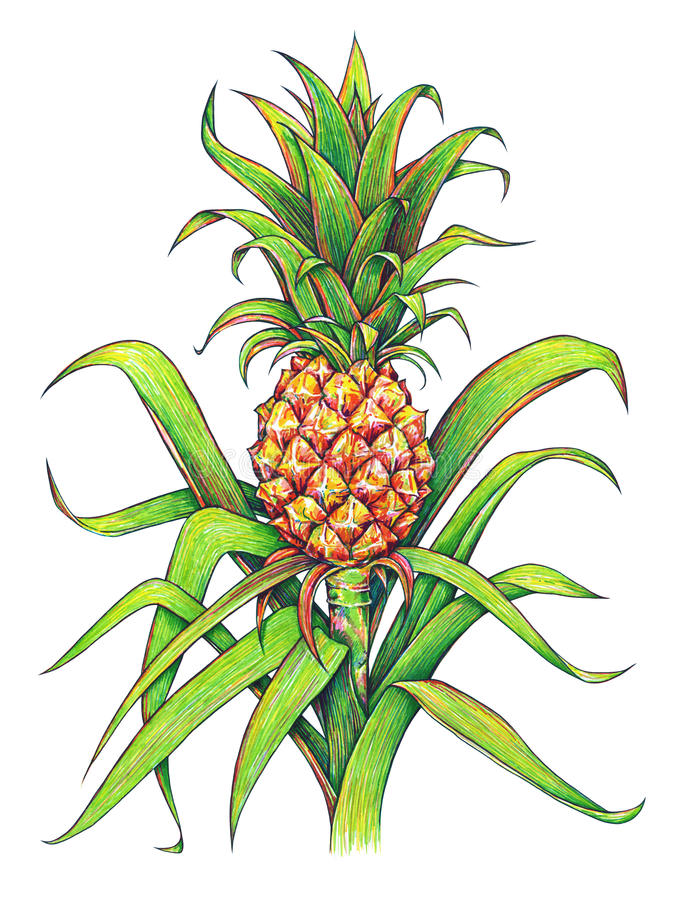 Pineapple with green leaves tropical fruit growing in a farm. Pineapple drawing isolated on a white background. Color illustratio stock illustration