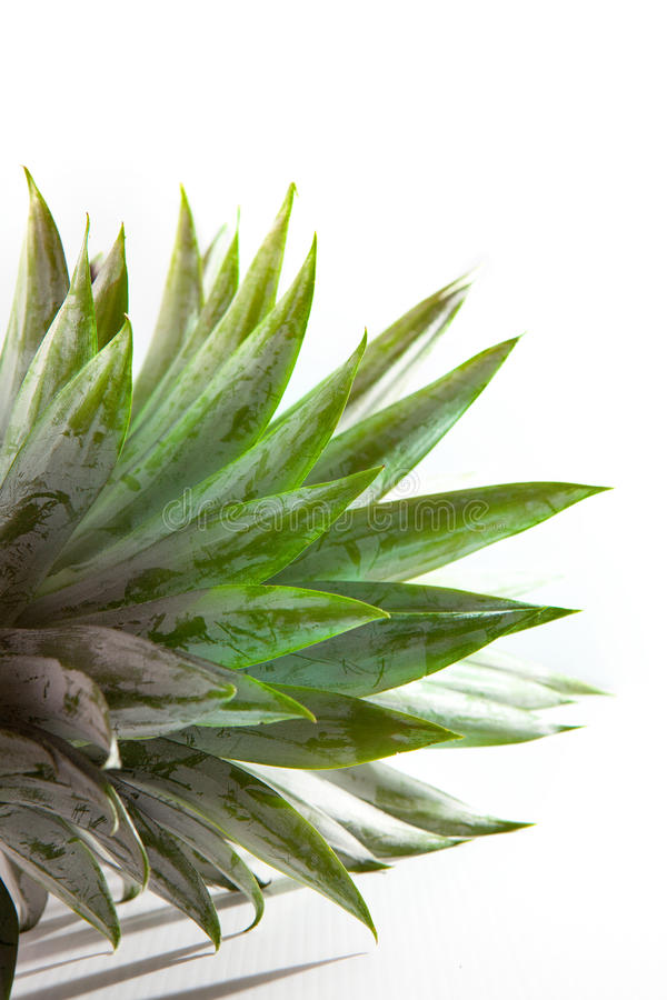 Download Pineapple Leaves On White Background Stock Image - Image: 33551371