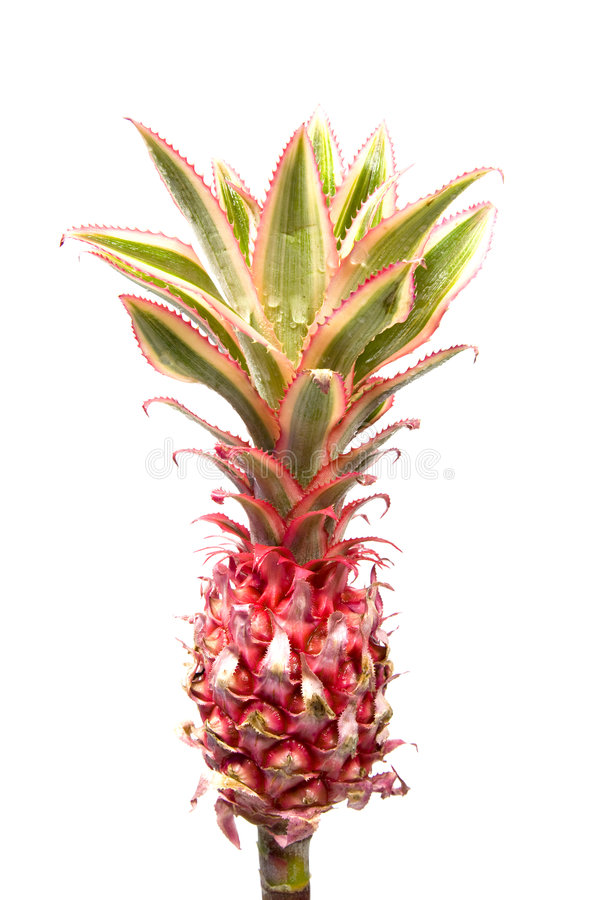 Download Pineapple Plant stock photo. Image of background, drop - 4512430