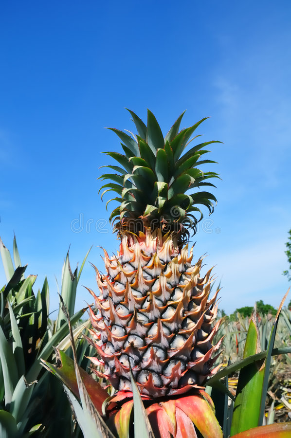 Pineapple Plant. In plantation against blue sky royalty free stock photo