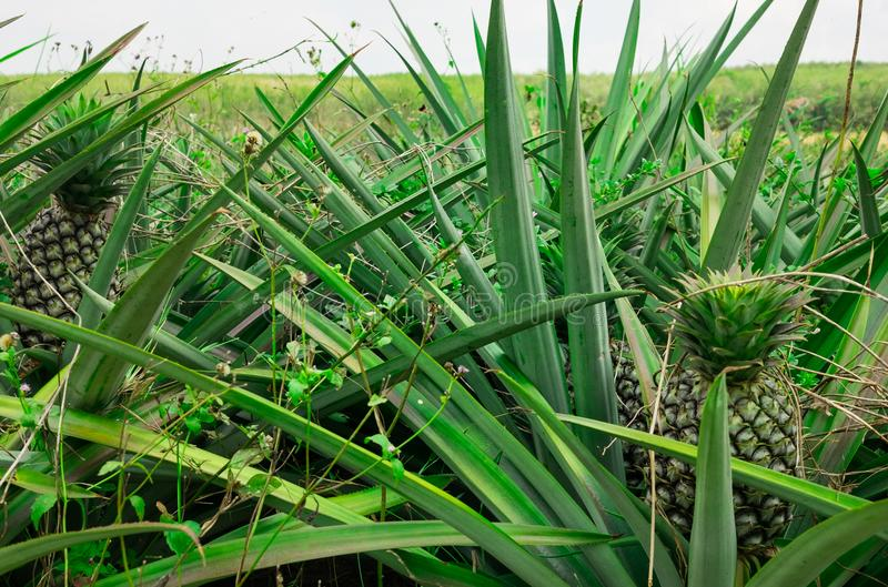 Download Pineapple Plant Field Stock Image Of Landscape
