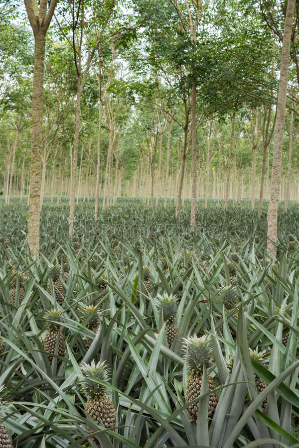 Download Pineapple Plant Field Stock Image Of Summer Sweet