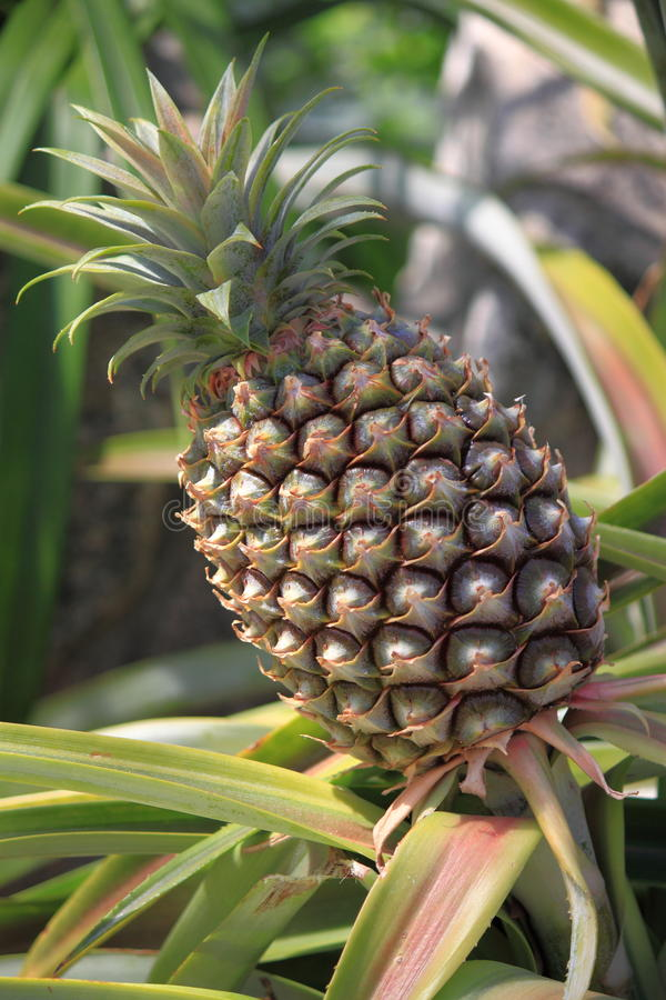 Pineapple. Natural Pineapple Plant with Ripe Fruit royalty free stock photos