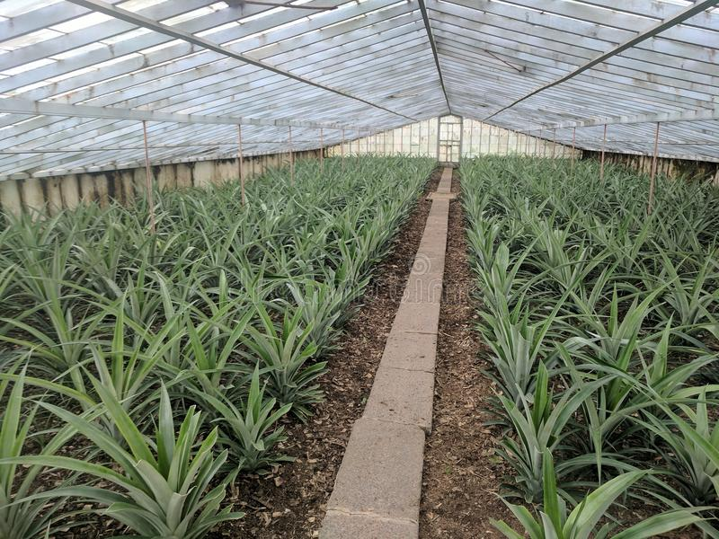 PineApple plantation Azores royalty free stock photography