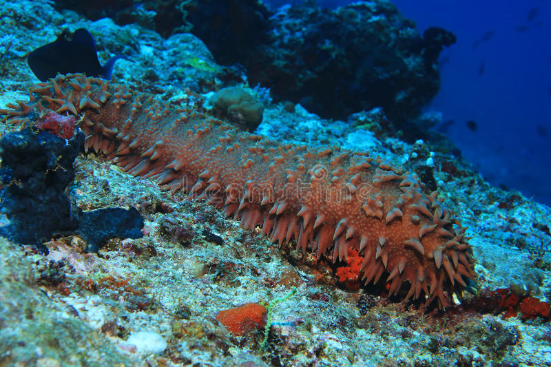 Pineapple sea cucumber. Thelonota ananas underwater in the coral reef of the indian ocean stock photo