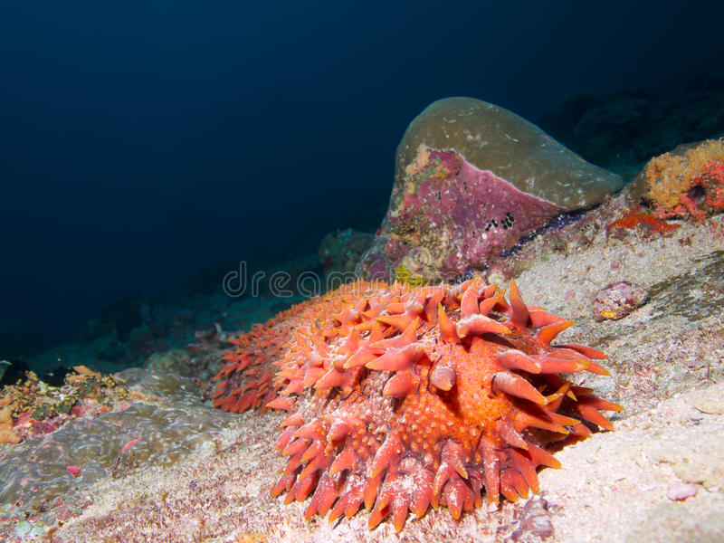 Pineapple sea cucumber royalty free stock image