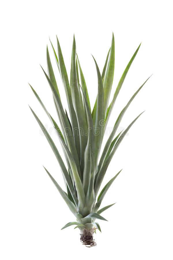 Pineapple shoots for plant on white background. royalty free stock photos