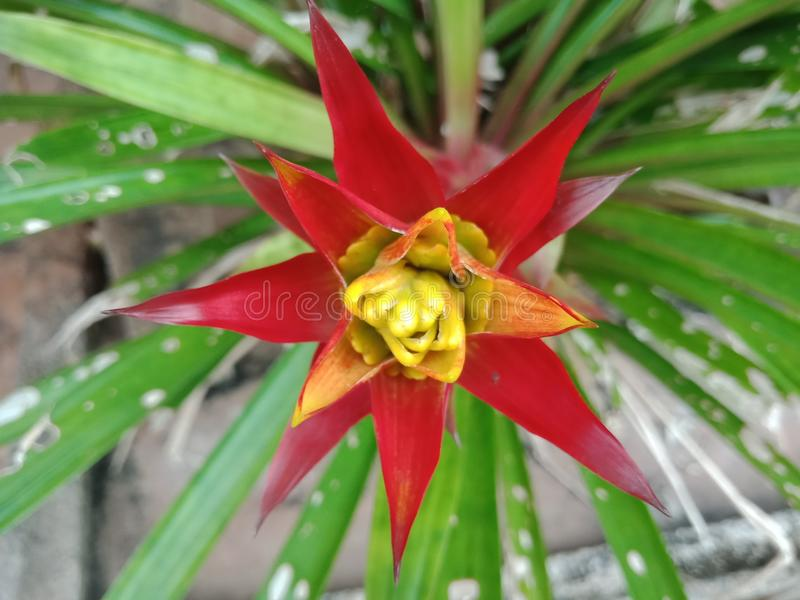 Bromeliad. Pineapple is a species of ornamental plant with hard petals. Spread out around the leaves, patterns and colors are beautiful, but the species. The stock image