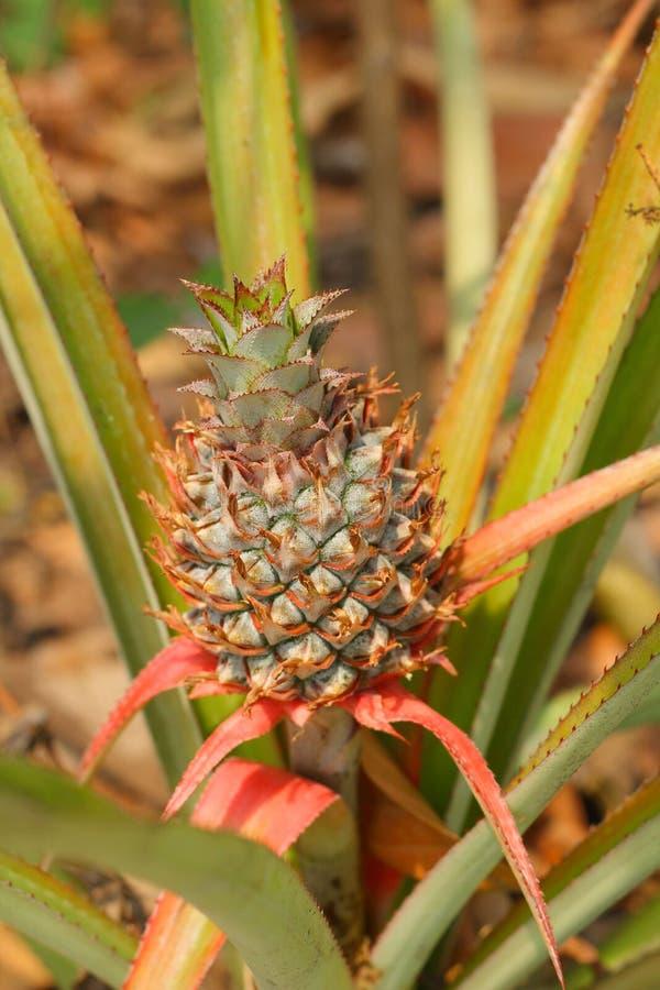 Pineapple Tree stock photography