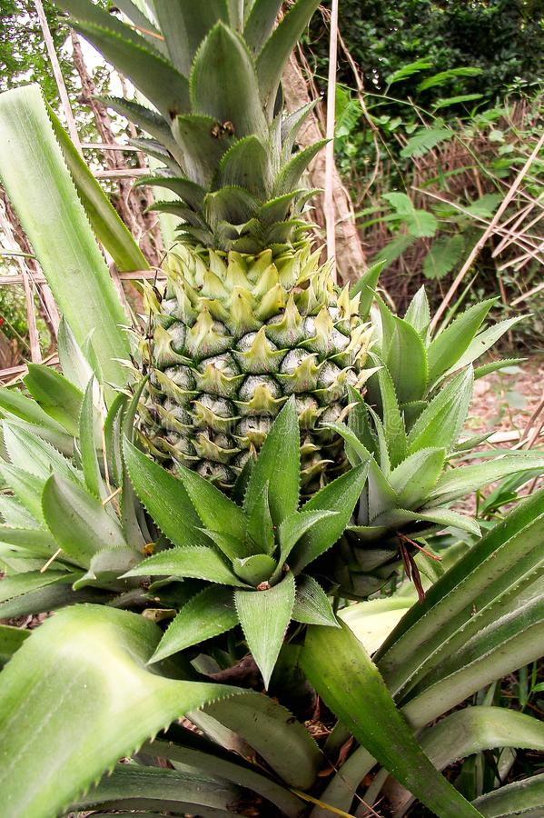 Pineapple tree in nature garden royalty free stock photography