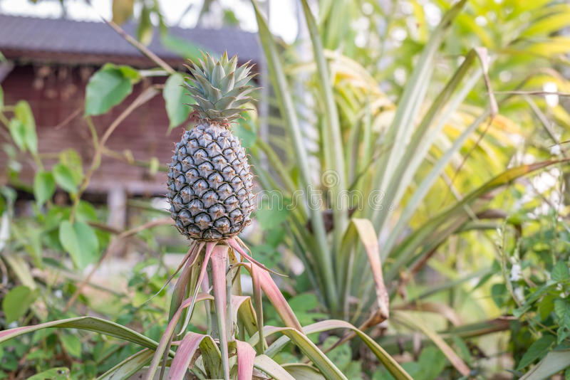 Pineapple tropical fruit growing in home garden stock image