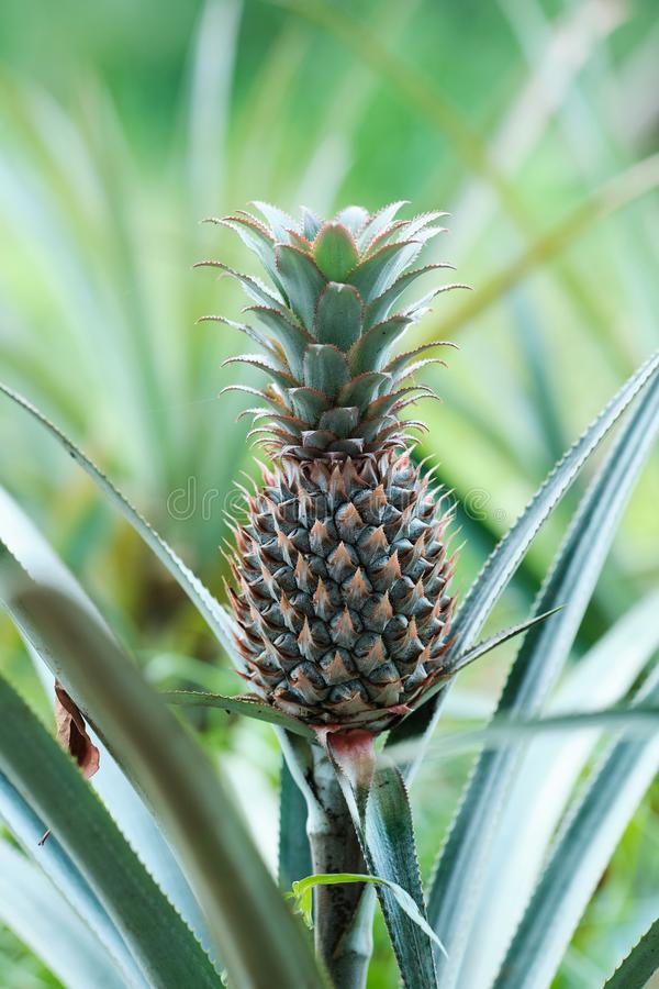 Pineapple Tropical Fruit Growing in Sri Lanka. Exotic Garden or Field of Asian Island. Well-demarcated Low Country and Dry Wet Areas Suitable for Cultivation royalty free stock photo