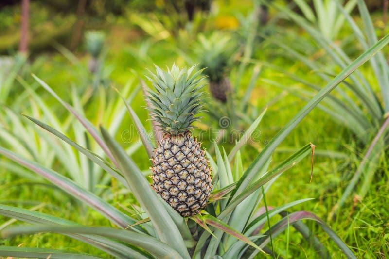 Pineapple tropical ripe fruit growing in garden stock image