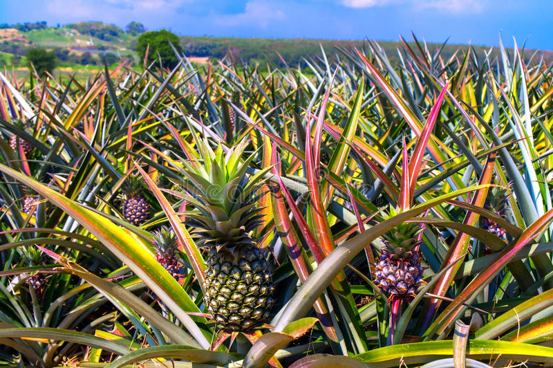 Pineapplefield. lizenzfreies stockbild