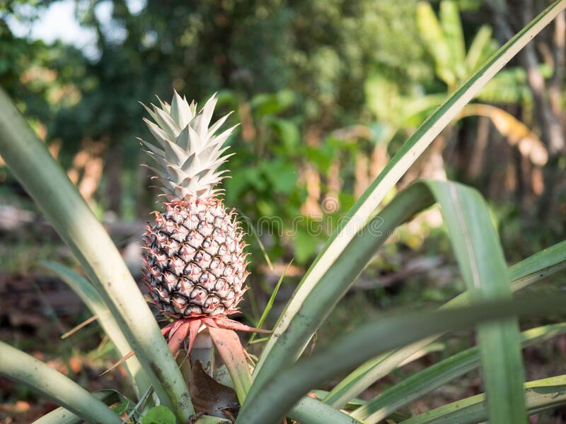 The pineapples on the clump have pink eyes. Pineapple tree tropical fruit growing in garden, Pineapple plant field royalty free stock photo