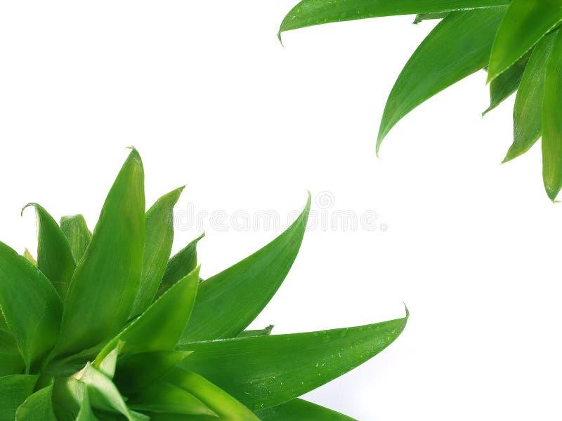 Download Pineapples leaves stock image. Image of hawaiian, juicy - 2315605