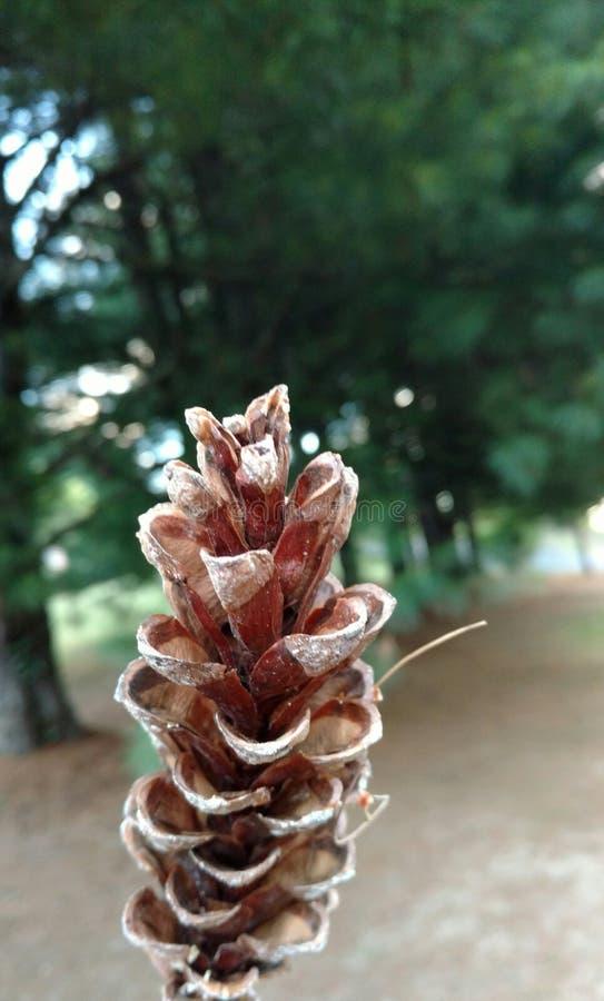 Pinecone à feuilles persistantes photos libres de droits