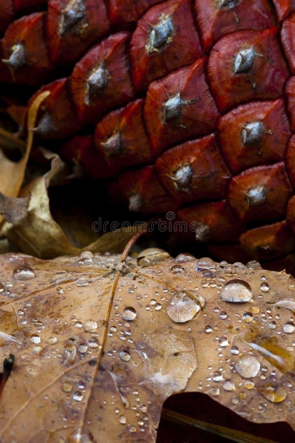 pinecone листьев росы стоковое фото