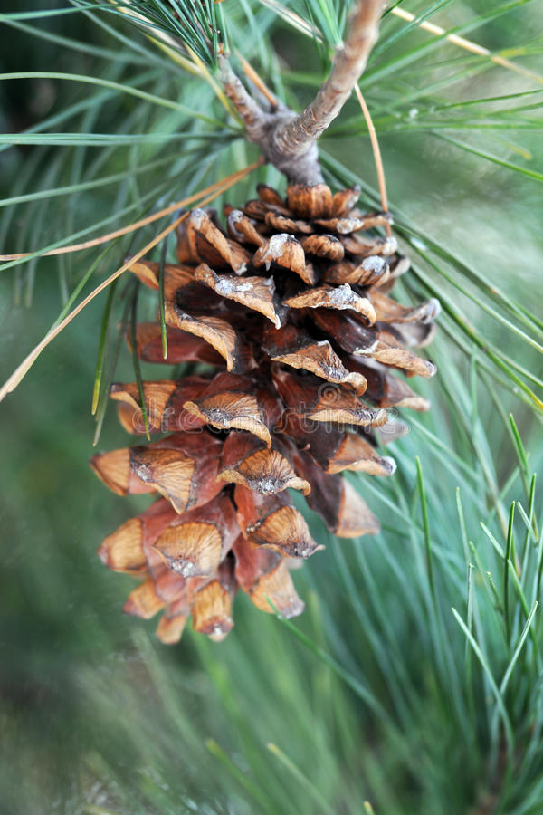 Pinecone. A big pinecone on tree stock photography
