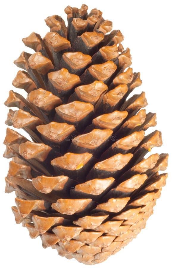 pinecone royaltyfri fotografi