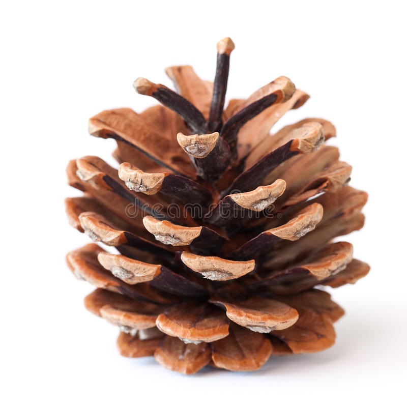 Pinecone. Isolated on white background stock photo