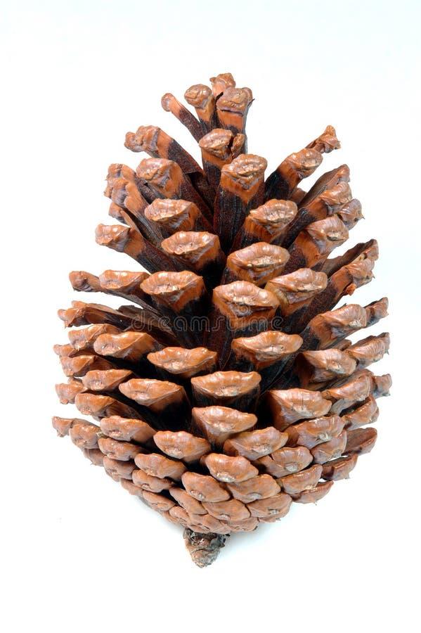 Pinecone stock foto