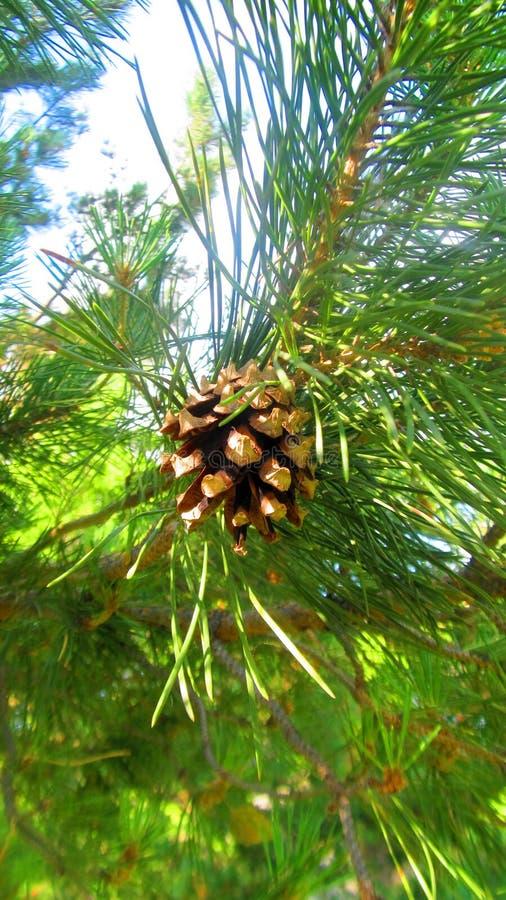 Pinecone стоковая фотография rf