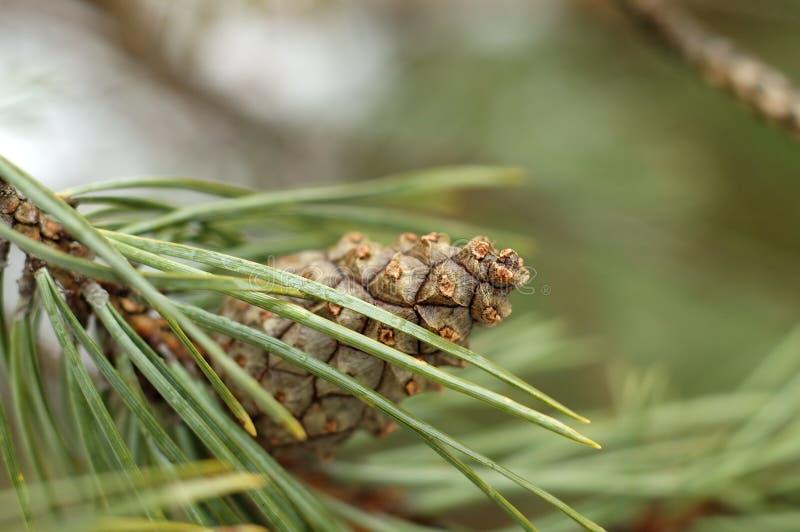 Pinecone image stock