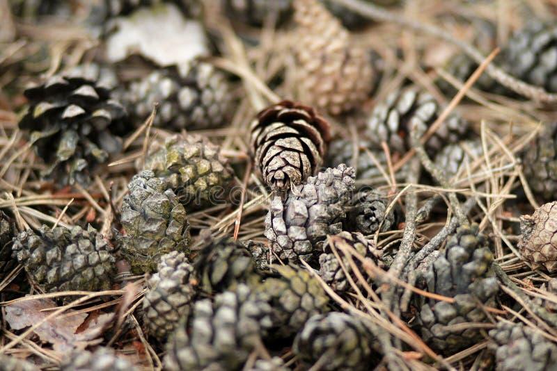 Pinecone stock foto's