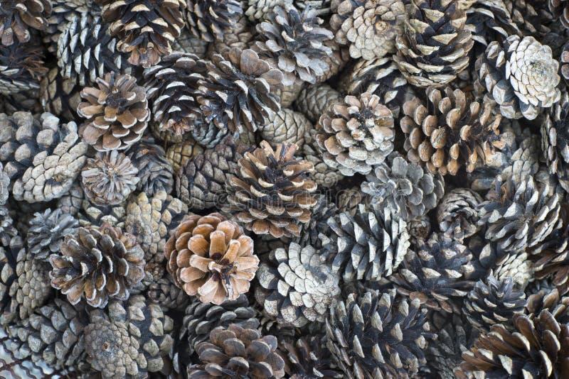 1 pinecone arkivbild