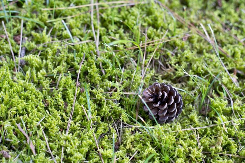 pinecone 2 arkivfoton