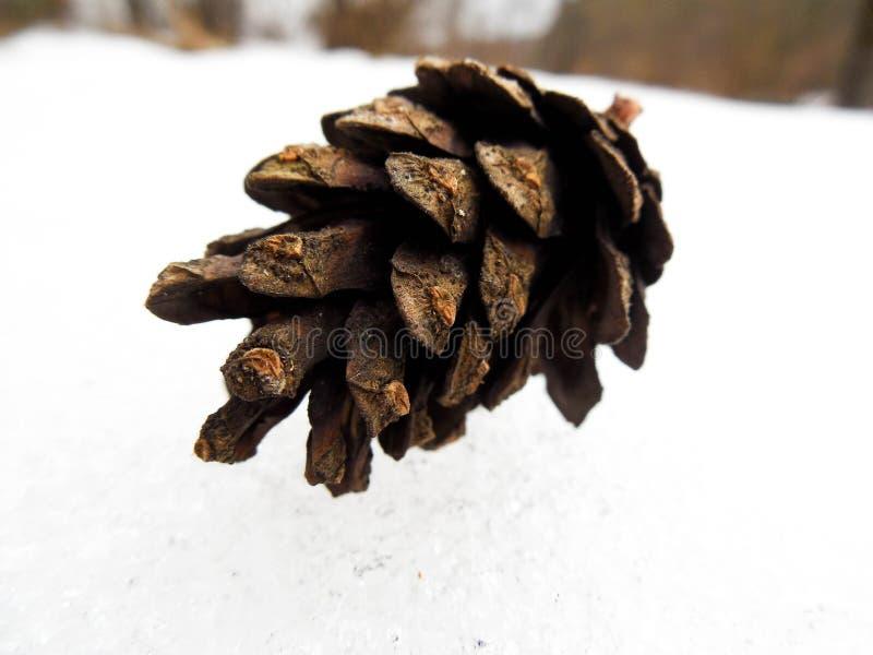 Pinecone immagini stock