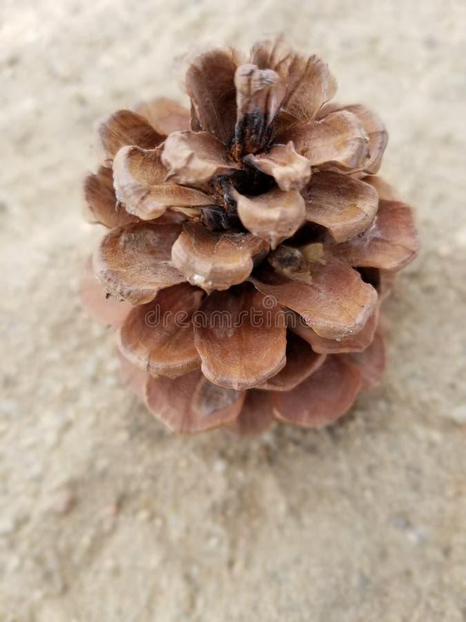 Pinecone obraz stock