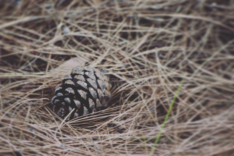 Pinecone arkivfoton