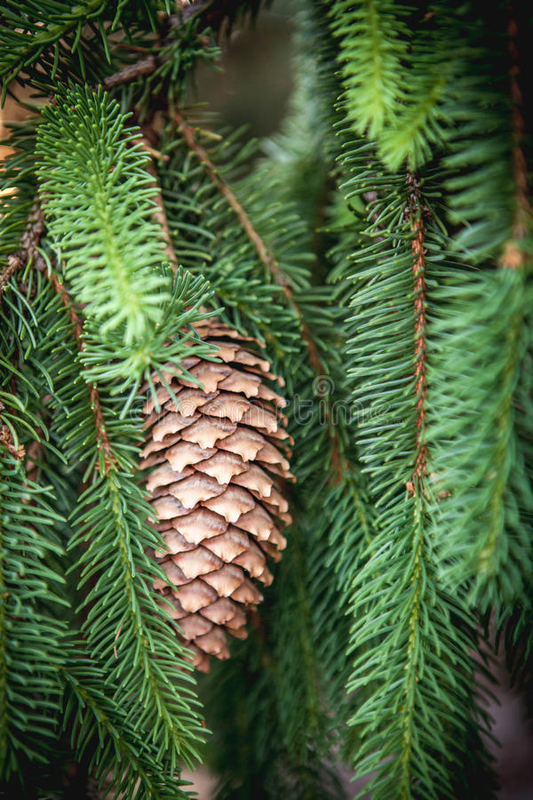Pinecone accrochant images libres de droits