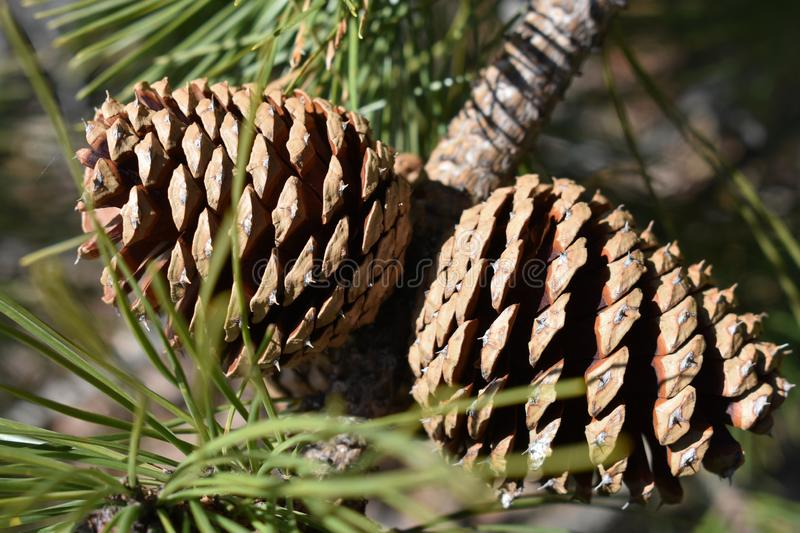 Pinecone on Big Pocono. Park on Camelback Mountain royalty free stock images