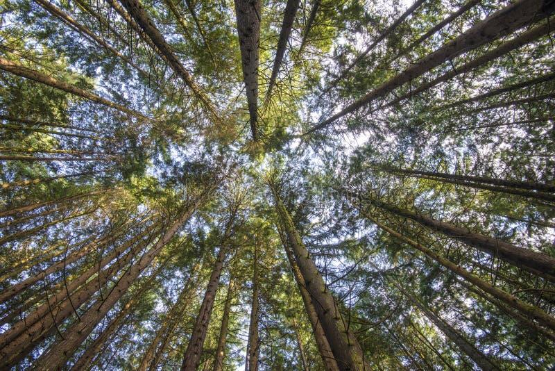 Pinecone Burke Treescape fotos de archivo