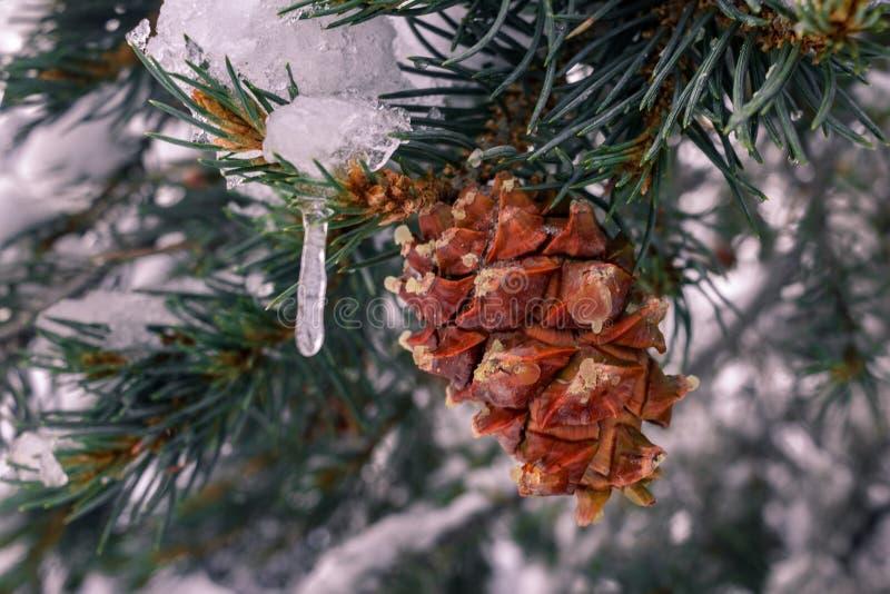 Pinecone, das von einem immergrünen Baumast mit den Eiszapfen eingefroren zu ihm hängt lizenzfreie stockfotos