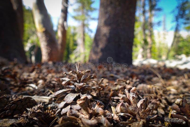 Pinecone em Forest Floor foto de stock