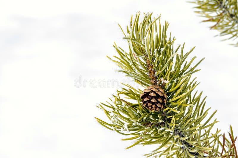 Pinecone en un árbol con nieve y helada fotos de archivo