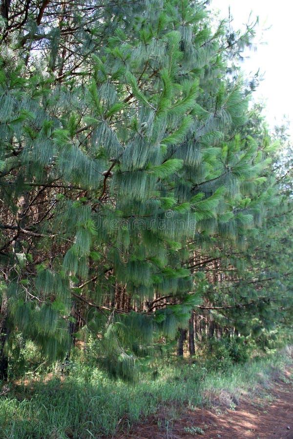 Pinecone-plantación joven imagenes de archivo
