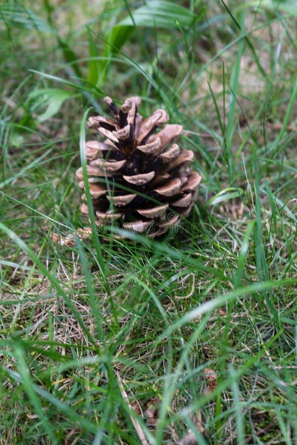 Pinecone que coloca na grama imagem de stock royalty free