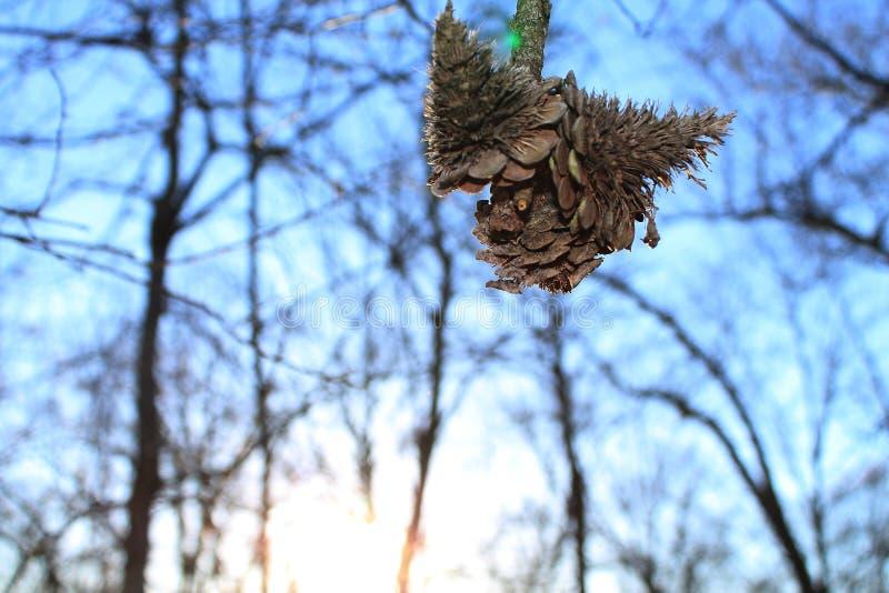 Pinecone que pendura ao redor fotografia de stock
