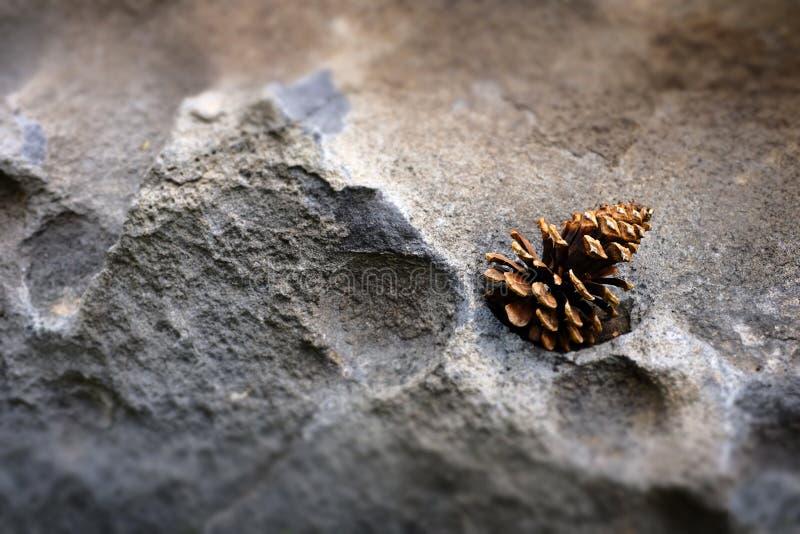 Pinecone sörjer kotten på stenen vaggar textur i vildmarken fotografering för bildbyråer