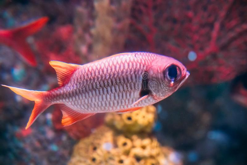 Pinecone Soldierfish Fish Myripristis Murdjan With Big Eyes Swimming In Water stock images