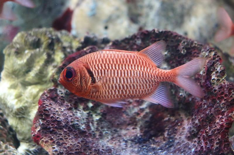 Pinecone soldierfish stock photography