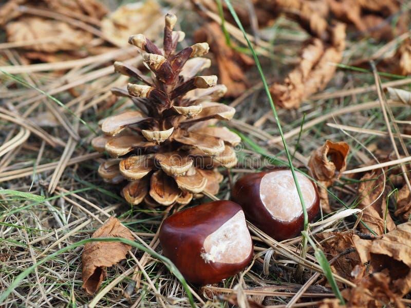 Pinecone und zwei Kastanien gelegt auf trockene Blätter, Herbst stockbilder