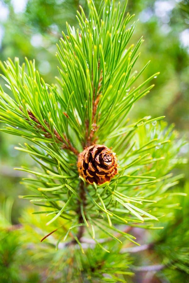 Pinecone w szczególe zdjęcie royalty free
