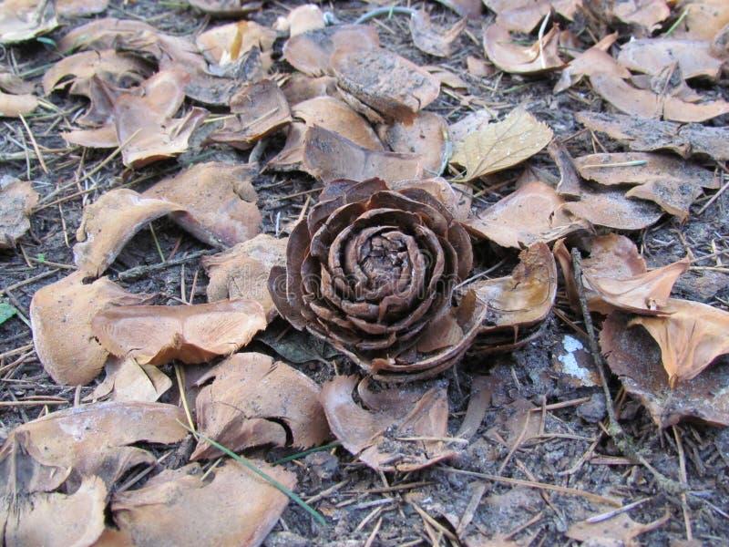 Pineconebloem op grond stock foto's