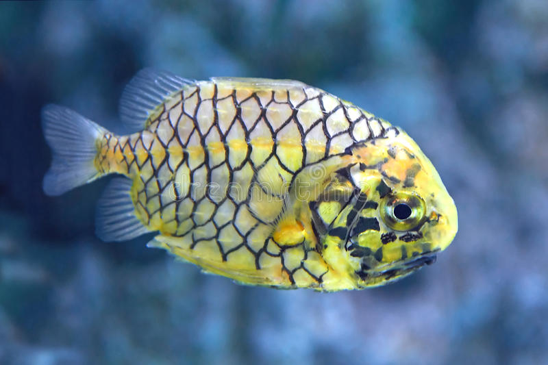 Pineconefish (Monocentris japonica) royaltyfri foto
